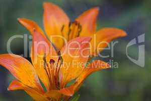Feuerlilie - Lilium bulbiferum