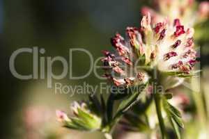 Alpen-Wundklee - Anthyllis vulneraria