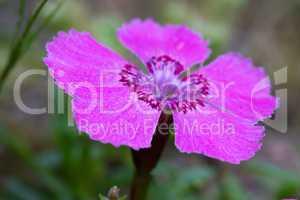 Alpen-Nelke - Dianthus alpinus