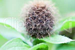 Perücken-Flockenblume - Centaurea Pseudophrygia