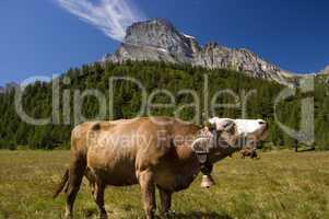 Cow in Alpe Veglia mountain pasture