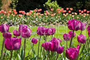violet tulips in a garden