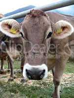 muzzle cow