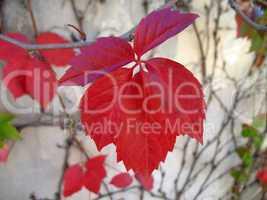red leaf in september