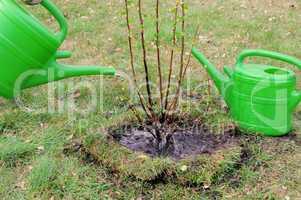 Strauch angiessen - watering a shrub 07