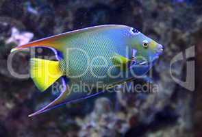 Diadem-Prachtkaiserfisch