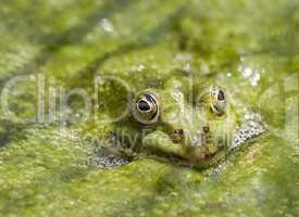 Frosch in Algen versteckt