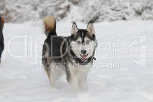 Sibirian husky in the snow