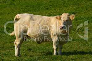 Charolais Rind - Charolais cattles