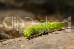 Raupe des Pappelschwärmers (Laothoe populi)