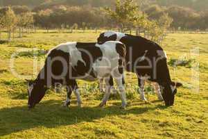 Kühe weiden auf der Wiese