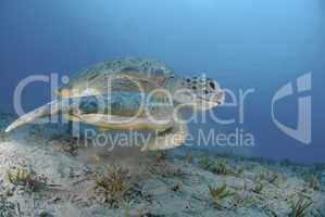 Green sea turtle swimming over seagrass bed.
