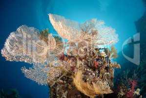 Giant georgonian fan coral