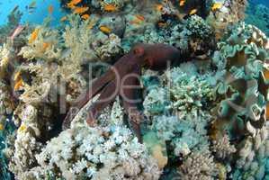 Common reef octopus