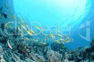 Small school of Red sea goatfish