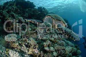 One Male hawksbill turtle. Red Sea, Egypt.