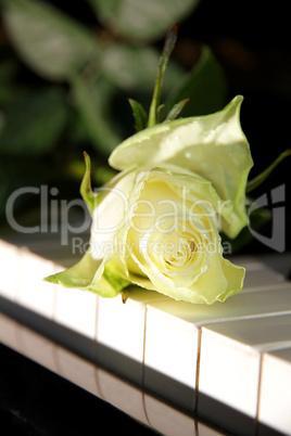 Weisse Rose auf Klavier