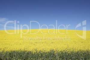 Gelbes Rapsfeld unter blauen Himmel