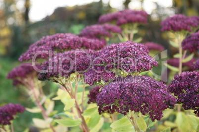 garten blumen lila, lila gartenblumen: lizenzfreie bilder und fotos, Design ideen