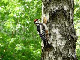 Woodpecker on tree