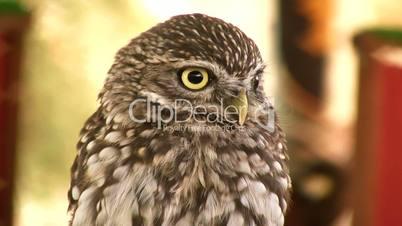 Smal owl