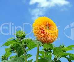 Sonnenblume und blauer Himmel - Sunflower blue Sky