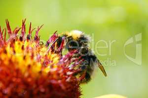 Bee on Flower Macro - Biene auf Blüte - Image No. 2