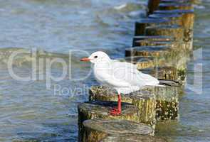 Möwe an der Küste - Seagull