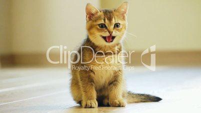 Kitten sits on the floor mews