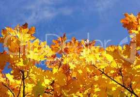 Herbstlaub mit blauem Himmel - Indian Summer yellow