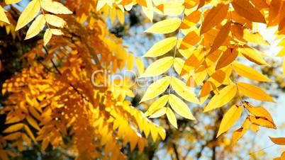 Gold autumn foliage