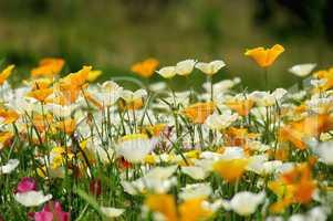 Kalifornischer Mohn - California poppy 31