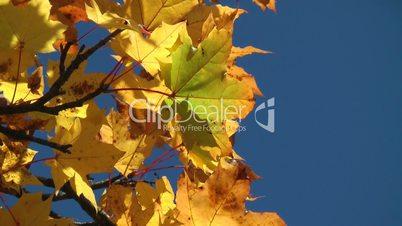 Indian Summer yellow - Herbstlaub gelb