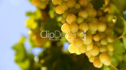 bunch of White wine grape