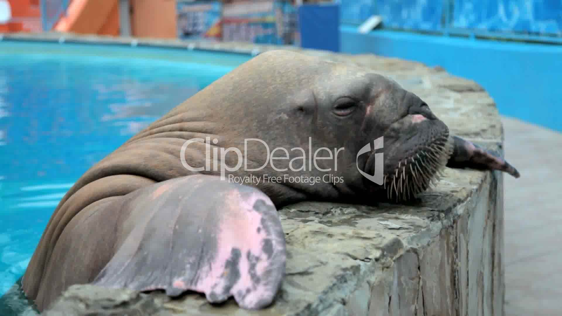walrus eats fish: Royalty-free video and stock footage