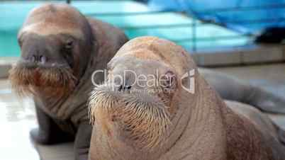 Two baby walrus