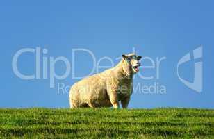Schaf steht blöckend auf dem Deich an der Nordsee
