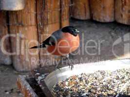 Bullfinch at the feeding trough