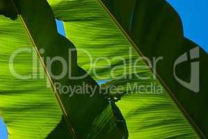 Bananenblätter - Banana leafs