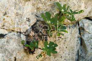 Feige (Ficus) in Felsspalte