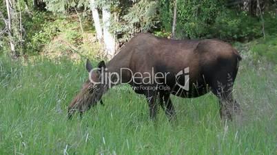 Moose cow eating in meadow P HD 1522