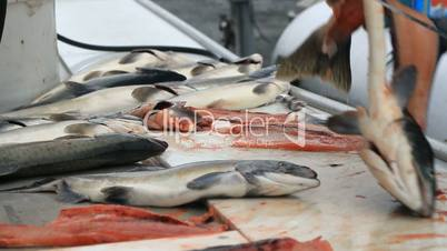 Salmon cleaning on table P HD 7512