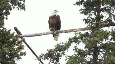 Bald Eagle high on perch P HD 1398