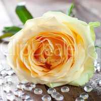 eine gelbe Rose / a yellow rose