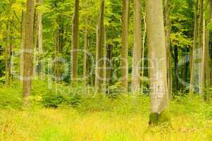 Buchenwald im Herbst - beech forest in fall 20