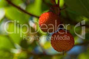 Westlicher Erdbeerbaum (Arbutus unedo), Früchte