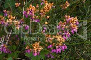 Graue Heide (Erica cinerea)