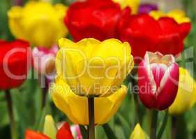 Bunte Tulpen - Colourful Tulips