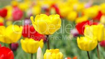 Tulpenbeet - Tulips