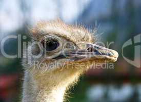 Vogel Strauß Kopf - Ostrich